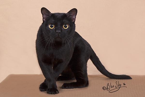 Bombay Cat Breeders Canada